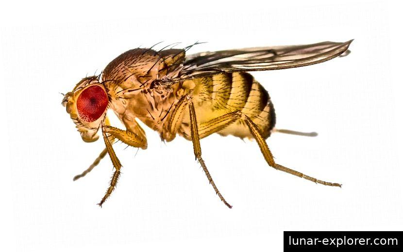 Weibliche erwachsene Fruchtfliege, Drosophila melanogaster.
