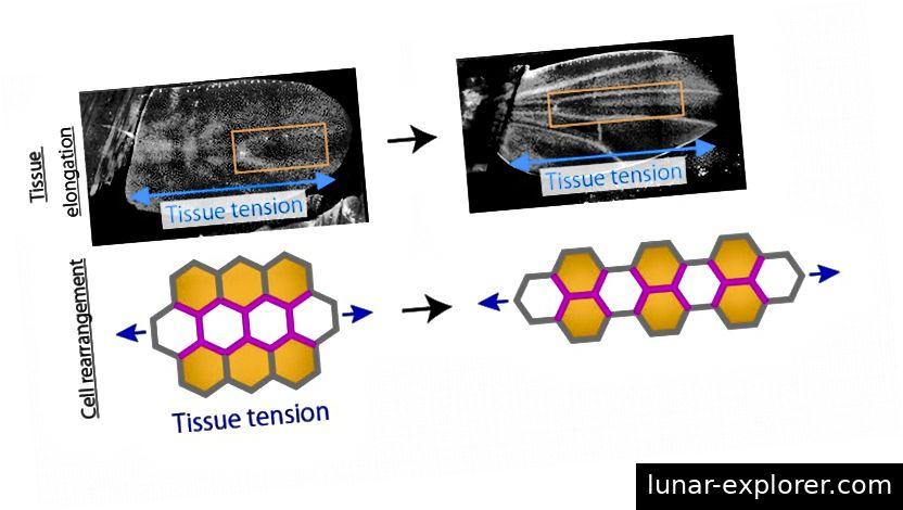 Oben: Standbilder aus der Zeitrafferaufnahme der Entwicklung des Puppenflügels. Orange Rechtecke zeigen die Dehnung und Schrumpfung des Flügelgewebes entlang der PD- bzw. AP-Achse an. Die im proximalen Bereich des Körpers erzeugten Kräfte dehnen den Flügel entlang der PD-Achse (blauer Zweiwege-Pfeil). Unten: In Reaktion auf die Gewebespannung (blaue Pfeile) ändern die Zellen ihre relative Position entlang der PD-Achse, indem sie die Zellkontakte (Magenta-Linien) umbauen.