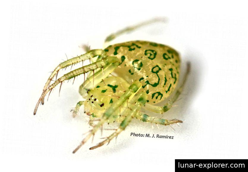 Die grüne Herzspinne Gnolus cordiformis