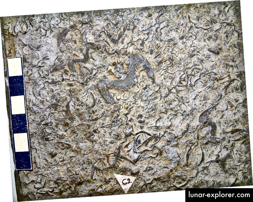 In Kalkstein versteinerte Trilobiten aus dem Field Museum in Chicago. Bildnachweis: flickr-Benutzer James St. John, unter einer CC-by-2.0-Lizenz.