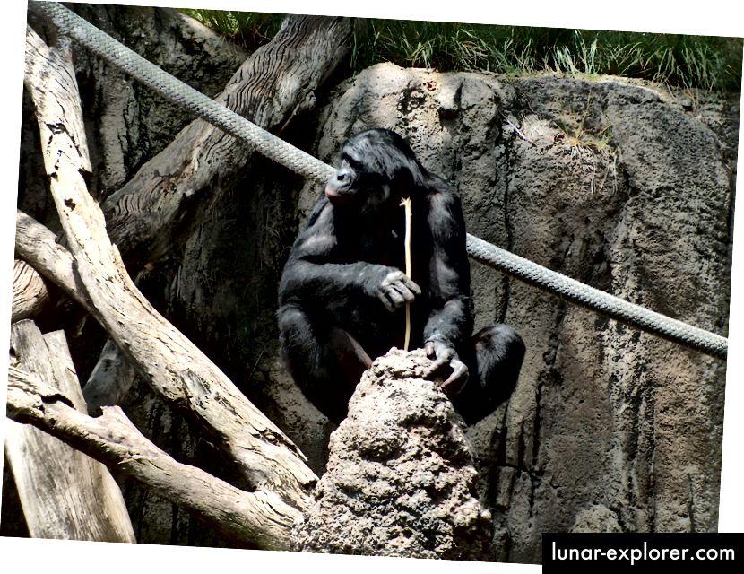 """Bonobo im San Diego Zoo """"fischt"""" nach Termiten. Bildnachweis: Wikimedia Commons-Benutzer Mike R, c.c.-by-s.a. 3.0 Lizenz."""