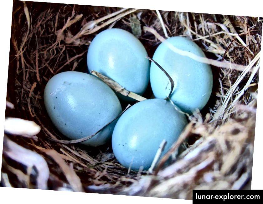 Robin´s egg blue: Eier des amerikanischen Rotkehlchens (Turdus migratorius). Blaugrüne Eierschalenpigmente schützen den Embryo vor Sonnenlicht, das anpassungsfähig sein kann, solange das Lichtniveau niedrig genug ist, um die Eier nicht zu erhitzen. (Foto mit freundlicher Genehmigung von Steve Willson).