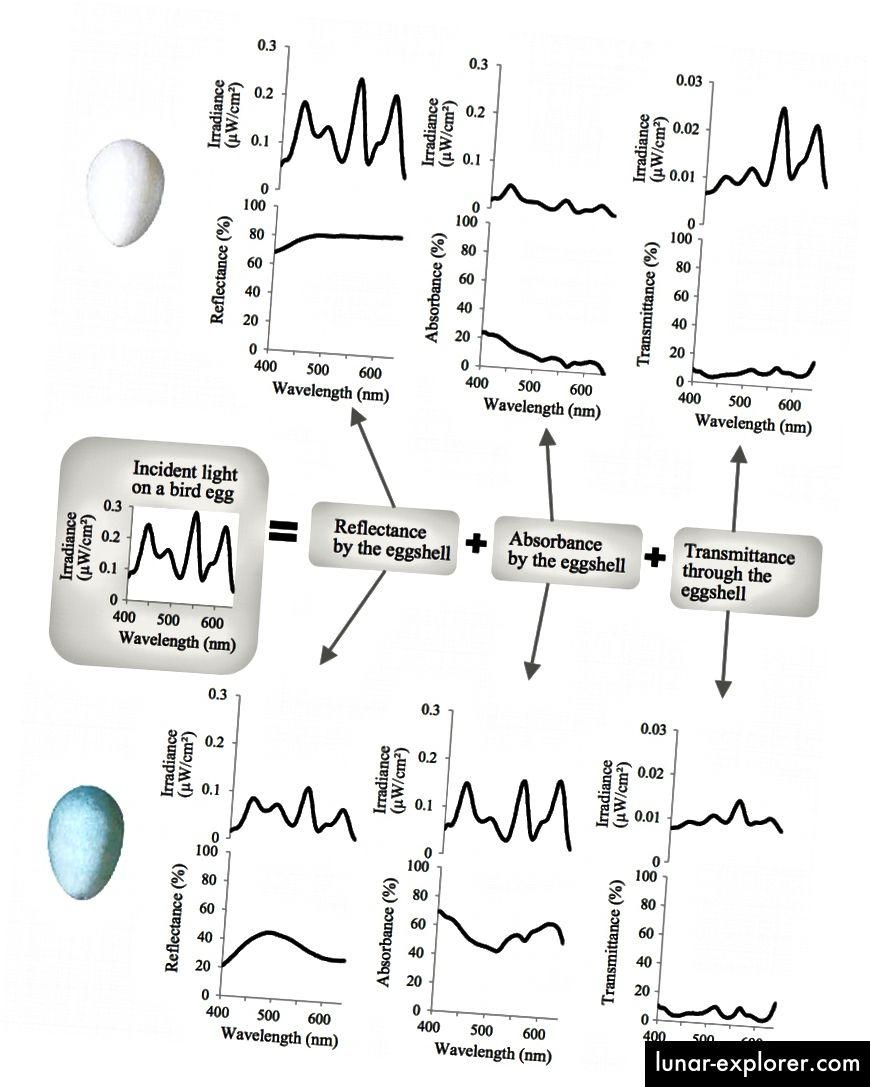 Abbildung 4: Drei Schicksale des sichtbaren Lichts, das auf eine Vogeleischale fällt, veranschaulichen den Einfluss der Eierschalenfarbe. (doi: 10.1086 / 685780)