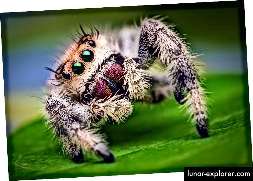 Weibliche springende Spinne, Phidippus regius. (Bildnachweis: Thomas Shahan / Creative Commons Attribution 2.0, generische Lizenz)