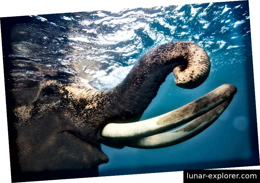 Proxy za mamuta stvorio bi se uređivanjem DNK ugroženog rođaka, azijskog slona. (Fotografija Claudia Legge)
