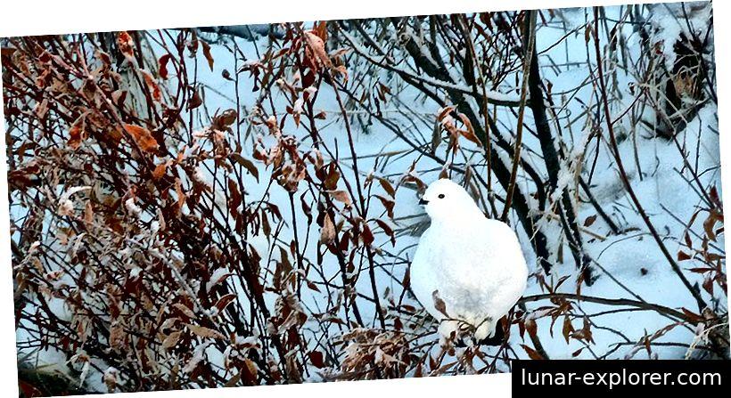 Ptarmigan [izgovara se tär'mĭ-gən] izgrađen je za zimu. (Foto: Brittany Sweeney / USFWS)