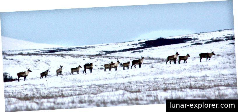 Caribou na arktičkoj tundri. (Foto: Anne Orlando / USFWS)