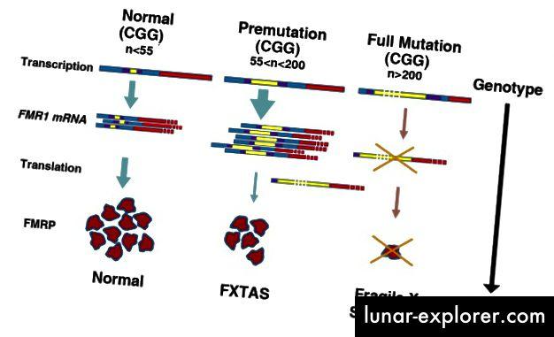 "Transkripcija FMR1 se utišava zbog hipermetilacije DNA, a odsutnost FMRP-a rezultira krhkim X sindromom. (Preuzeto iz ""Miševi modeli krhkog X premutacije i krhkog sindroma tremor / ataksije povezan s X"" u časopisu Neurodevelopmental Disorders (6) 1:25)"
