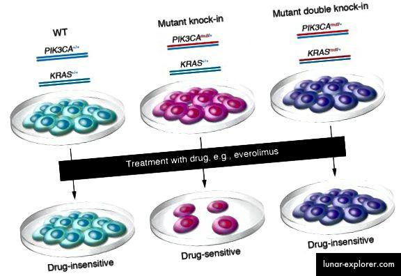 Ljudske stanice epitela divljeg tipa podvrgavaju se genskom ciljanju da bi se stvorili izogeni derivati koji sadrže jednu PIK3CA onkogenu mutaciju (knock-in) ili istu PIK3CA mutaciju zajedno s KRAS onkogenom mutacijom (double knock-in). Stanice se zatim paralelno podvrgavaju lijekovima za procjenu osjetljivosti na rezistenciju (J Clin Invest. 2010; 120 (8): 2655-2658. Doi: 10.1172 / JCI44026.)
