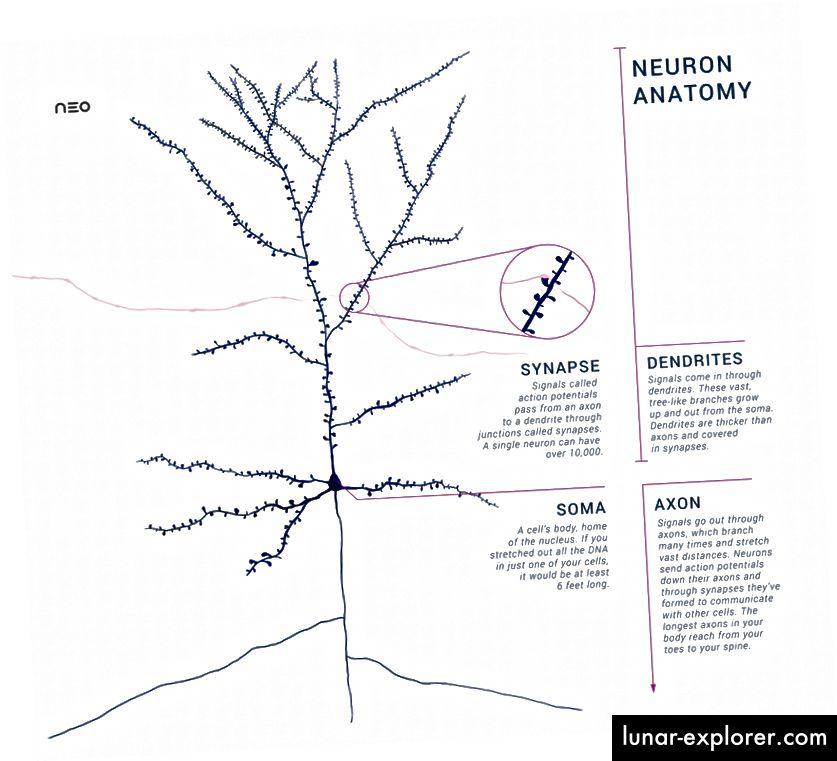 Shema jednog piramidalnog neurona. Zasluge: Amyleesterling, Wikimedia.