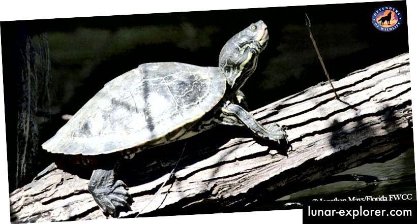 Barbours Landkartenschildkröte