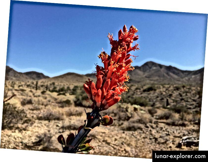 U pustinji imamo ocotillos umjesto ruža. Nije strašna fotografija, ali iskreno, vrijedi, možda, 20 riječi.