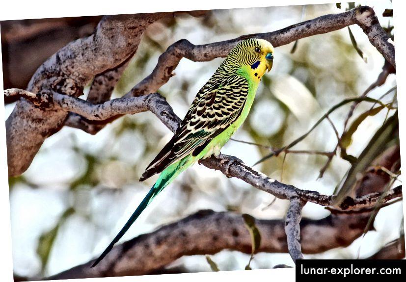 """Възрастен мъжки див тип елф, Melopsittacus undulatus, сниман в дивата природа близо до ъгъла на Камерън, Куинсланд. Този вид обикновено е известен като """"бъги"""" или като """"папагал"""" - неправилно, тъй като има много видове папагали - в американската търговия с домашни любимци. (Кредит: Benjamint444 / GFDL 1.2)"""