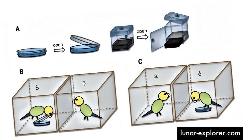 Фиг. 1. Проектиране на фазата на наблюдение. (A) Устройства за решаване на проблеми: чинията на Петри и кутията с три стъпки. (B) Фокална жена, която наблюдава обучен мъж, който отваря чашата на Петри. (C) Фокусна женска, която наблюдава нетрениран мъж, опитвайки се безуспешно да отвори чинията. (Doi: 10.1126 / science.aau8181)
