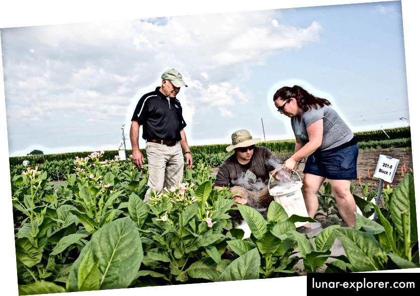 Учените Дон Орт (вдясно), Пол Саут (в центъра) и Аманда Кавана (вляво) проучват колко добре техните растения, модифицирани да заобикалят фотореспирацията, се представят до немодифицирани растения в реални условия.
