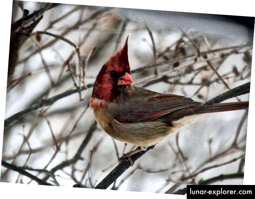 """Този необичаен северен кардинал (Cardinalis cardinalis) е разделен на две равни половини, където едната страна е алена, а другата е с тен, е двустранен гинандроморф, известен още като """"полу-сидер"""". Тази птица беше открита от Ширли и Джефри Колдуел в хранилката за птици в задния двор в Пенсилвания в края на януари 2019 г. (Кредит: Ширли Колдуел.)"""