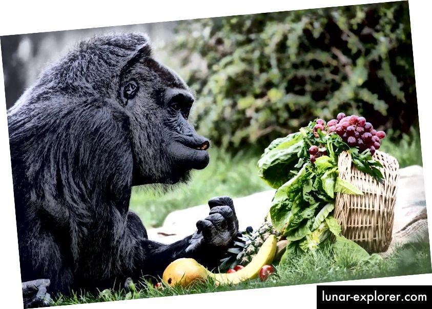 Il gorilla femmina Fatou, la gorilla più antica d'Europa, siede di fronte a un cesto regalo con diversi tipi di frutta per il suo sessantesimo compleanno allo zoo ('Zoologischer Garten') di Berlino, Germania, 13 aprile 2017. Fatou ha vissuto nel zoo per 58 anni, e ha le sue preferenze per oggetti e alimenti dalle mille sfaccettature. (KAY NIETFELD / ALIANCE DELLE IMMAGINI TRAMITE GETTY IMMAGINI)