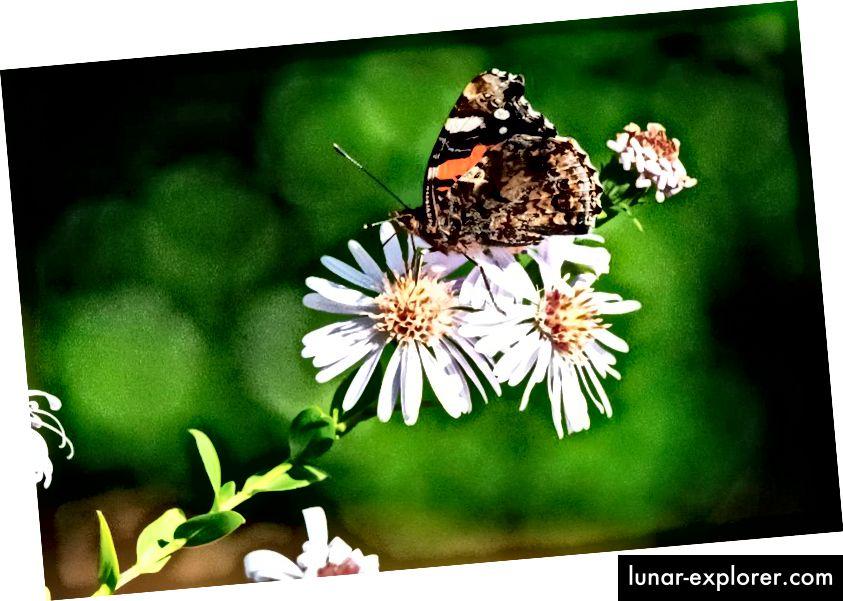 Un'immagine scattata il 15 ottobre 2018 a Saint-Philbert-sur-Risle, nel nord della Francia, mostra una farfalla Vanessa Atalanta su un fiore. Le farfalle sono uno degli insetti che dimostrano le più forti preferenze di colore conosciute in natura. (JOEL SAGET / AFP / GETTY IMMAGINI)