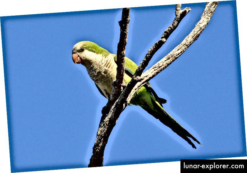 Monaški papagaj (Myiopsitta monachus) poznat i kao papiga quaker. Ovo je najčešća uspostavljena vrsta papiga u Sjedinjenim Državama. (Kredit: Cláudio Dias Timm / CC BY-SA 2.0)