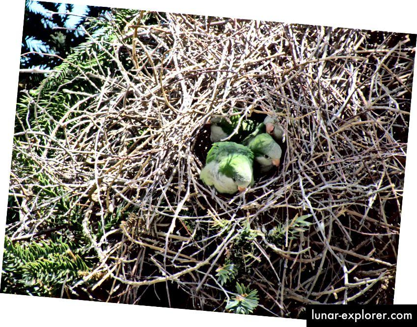Les perruches moine (Myiopsitta monachus), également connues sous le nom de perroquets quakers, jettent un coup d'œil hors de leur nid de type condomimium. C'est l'espèce de perroquet la plus répandue aux États-Unis, et leur nid - unique parmi les perroquets - peut faire partie du secret de leur succès. (Crédit: David Berkowitz / CC BY 2.0)