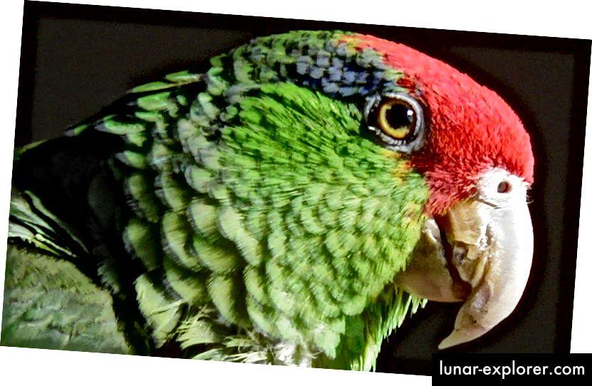 Porträt eines vom Aussterben bedrohten Rotschopfpapageis (Amazona viridigenalis), auch bekannt als Grünbackenamazone oder mexikanischer Rotschopfpapagei. In den Vereinigten Staaten leben mehr eingebürgerte Rotkronenpapageien als in Mexiko, wo sie ihren Ursprung haben. (Bildnachweis: Leonhard F / CC BY-SA 3.0.)