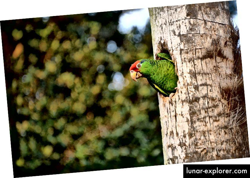 Žmurke! Amazonska papiga, crvena kruna, Amazona viridigenalis, viri iz svoje gnijezdo šupljine u okrugu San Diego. Ova vrsta je ugrožena u svom prirodnom rasponu diljem Meksika. (Zasluga: Bryan Calk, slika putem Projekta San Diego Parrot)