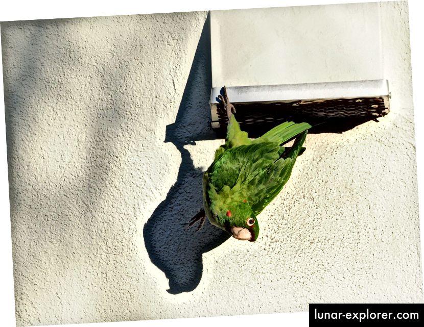 Mlada besplatna lutajuća papiga, Psittacara mitrata, grebe nožnim prstom iz zraka. Ova vrsta se nalazi u šumama i šumama u Andama od sjevernog središnjeg Perua, južno preko Bolivije, do sjeverozapada Argentine. (Kredit: Ingrid Taylar / CC BY 2.0)