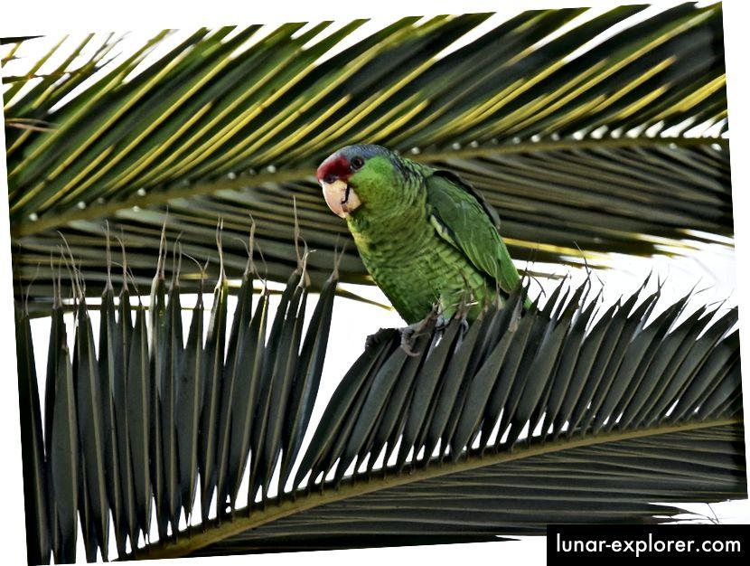 Slobodna lutajuća lipa papiga, amazonski finschi, uživa u netipičnoj vegetaciji u San Diegu. Ova ugrožena papiga endemična je za pacifičke padine Meksika. (Zasluge: Andy Reago i Chrissy McClarren / CC BY 2.0)