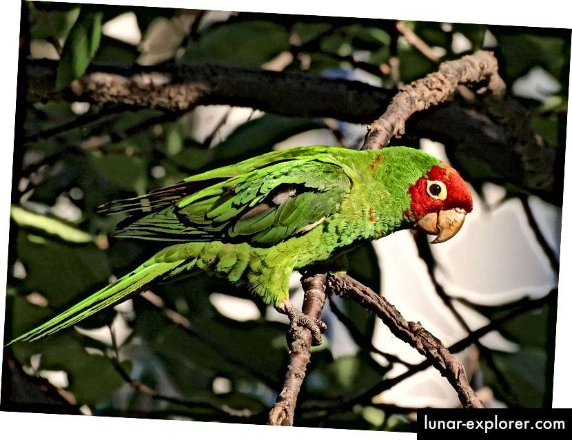Parkit bertopeng merah liar, Psittacara erythrogenys, di San Francisco. Burung beo berukuran sedang ini, yang aslinya berasal dari Ekuador dan Peru, diimpor dalam jumlah besar oleh perdagangan hewan peliharaan beberapa dekade lalu. (Kredit: Ingrid Taylar / CC BY 2.0)