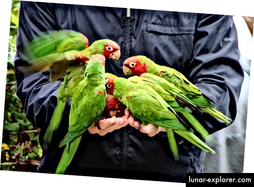 Apakah orang-orang memuakkan burung beo di Telegraph Hill dengan memberi mereka terlalu banyak junk food? (Kredit: Daniel Gies / CC BY-NC-ND 2.0)