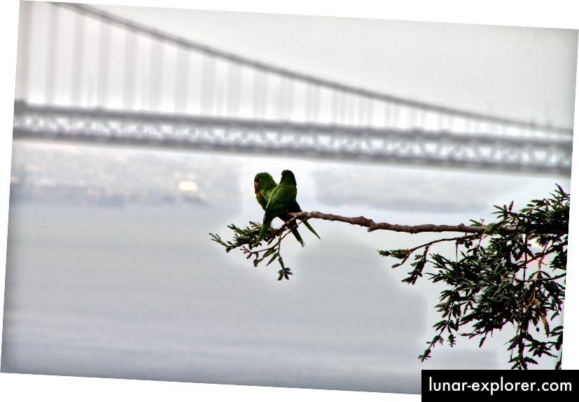 Eine kleine Familie wilder Papageien mit der Golden Gate Bridge im Hintergrund. (Bildnachweis: Daniel Gies / CC BY-NC-ND 2.0)