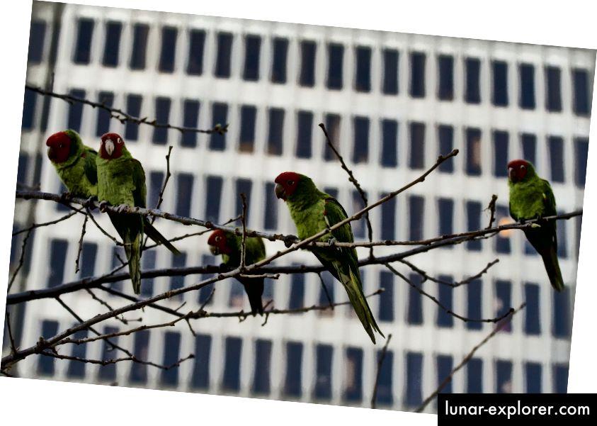 Wildpapageien in San Francisco. (Kredit: Eliya / CC BY 2.0)