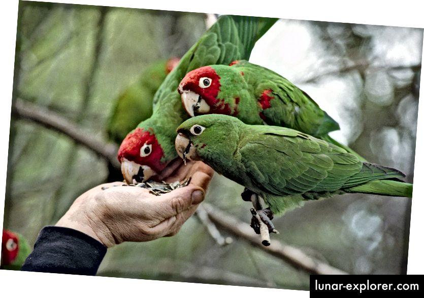 Die Papageien von Telegraph Hill schließen leicht Freunde und sind bei Einheimischen und Touristen sehr beliebt. (Bildnachweis: Screengrab aus The Parrots of Telegraph Hill, ein Dokumentarfilm von 2003).