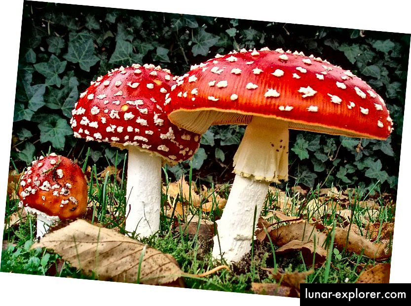 Amanita Muscaria, minus ulat perokok hookah. Onderwijsgek di nl.wikipedia [CC BY-SA 3.0 nl (https://creativecommons.org/licenses/by-sa/3.0/nl/deed.en)], dari Wikimedia Commons.