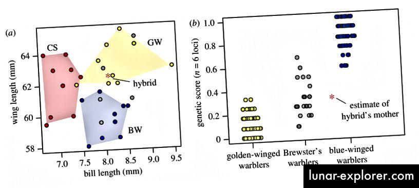 الشكل 2. (أ) Culmen وطول الجناح ل warmers Vermivora (أصفر ، ذهبي الجناحين ، أزرق ، أزرق الجناحين ، رمادي ، Brewster's) و warblut من جانب الكستناء (أحمر). يظهر الهجين مع علامة النجمة. (ب) المؤشر الوراثي عبر ستة مواقع تميز نيران الفيرميفورا. من الهجين ، قدّرنا المؤشر الوراثي لوالدتها الأم ، والذي يقع في نطاق الهجن بين الرماة الذهبيين والأجنحة الزرقاء (أي