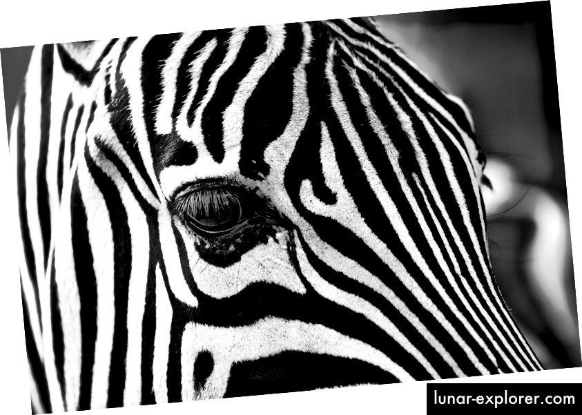 Kroz stoljeća postojalo je mnogo objašnjenja zašto zebre imaju pruge, a konji ne. (Kredit: Igorowitsch / CC0)