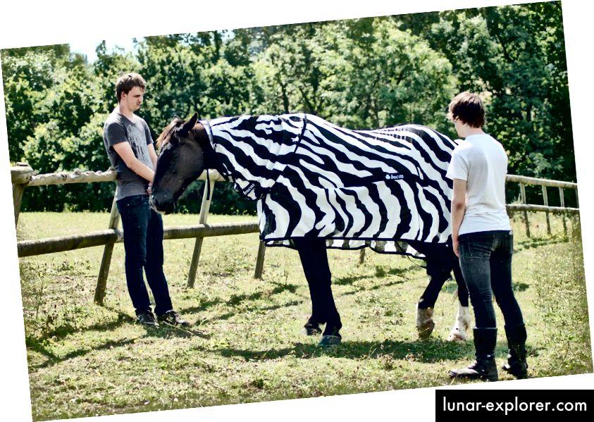 Konj nosi prugast kaput za ovo istraživanje. (Kredit: Tim Caro)