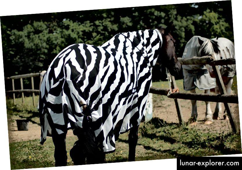 Tamni konj u prugastom kaputu. (Kredit: Tim Caro.)