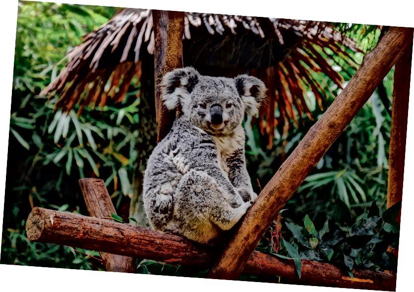 Koala bear (kdo je jasně Super Extra). Foto Shu xin na Unsplash