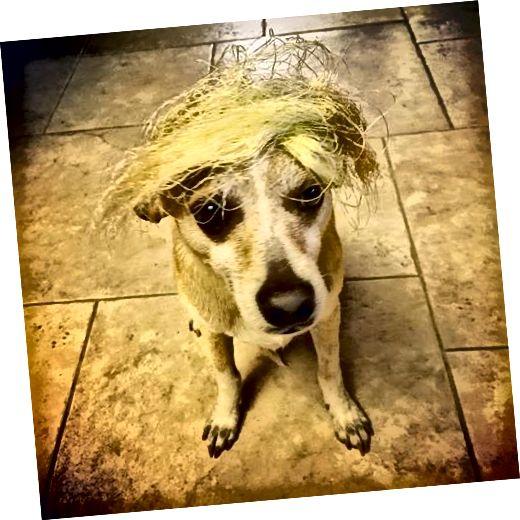Քրիստոյի շուն Օլլին պատահաբար պատված էր եգիպտացորենի մետաքսով, քանի որ նկարիչը Իտալիայում գտնվող իր տան խոհանոցում եգիպտացորենից մի քանի հարյուր ականջներով շերտեր էր հավաքում: Օլլին իրական կյանքում ոչ մի նմանություն չունի Դոնալդ Թրամփին: