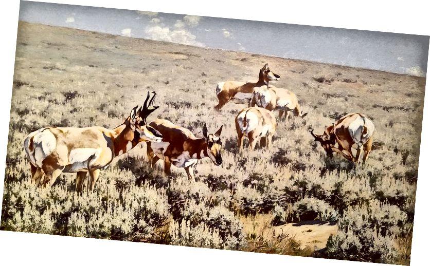 Wyoming Sage, 1902, Carl Rungius (Američan, b. Německo, 1869–1959); Olej na plátně; Sbírka JKM