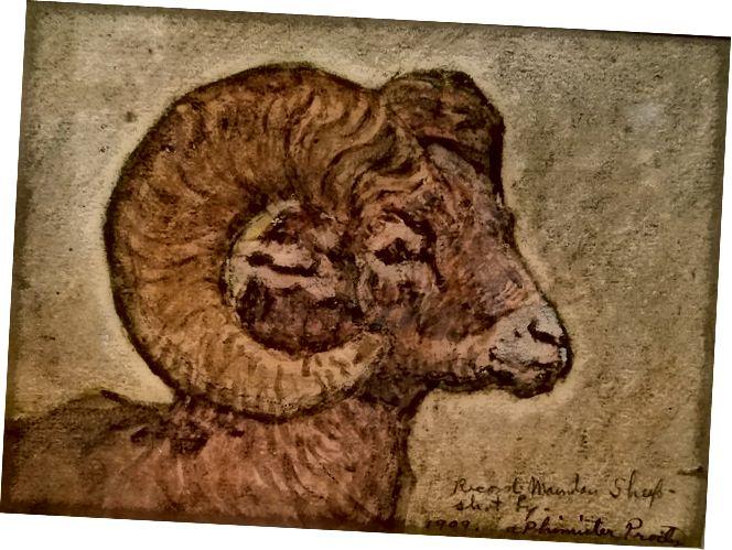 Record Mountain Sheep, 1909, Alexander Phimister Proctor (Američan, 1862–1950). Akvarel a grafit na papíře. Sbírka JKM / dárek muzea Alexandra Phimistera Proctora