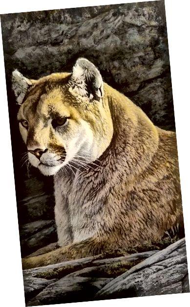 Rocky Wilderness Cougar (detail), 1980, Robert Bateman (Kanaďan, b. 1930) Akryl na palubě; Sbírka JKM