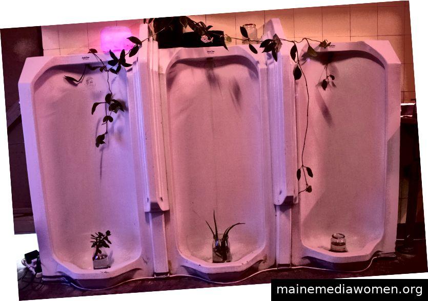 Urinale im Badezimmer mit Sukkulenten und violetter Beleuchtung