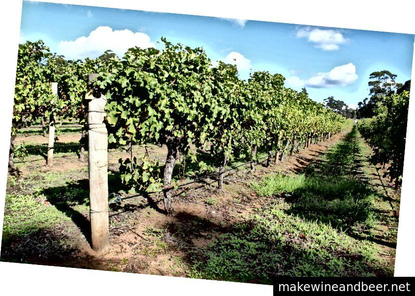 Vineyards ໃນ Margaret River, ອົດສະຕາລີ
