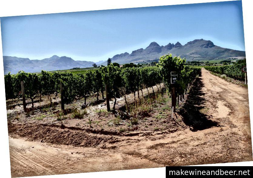 تاکستان ها در Stellenbosch ، آفریقای جنوبی در نزدیکی کیپ تاون