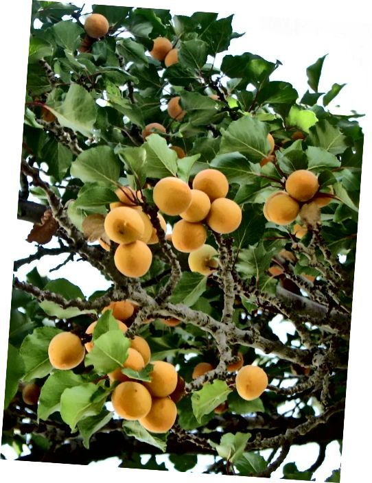 میوه زردآلو. روغن هسته زردآلو یک مرطوب کننده عالی پوست به عنوان روغن حامل یا حتی به تنهایی است.