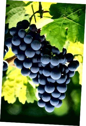 अंगूर बेल पर। संवेदनशील खाल त्वचा उत्पादों में एक आधार के रूप में अंगूर के तेल से प्यार करेंगे।