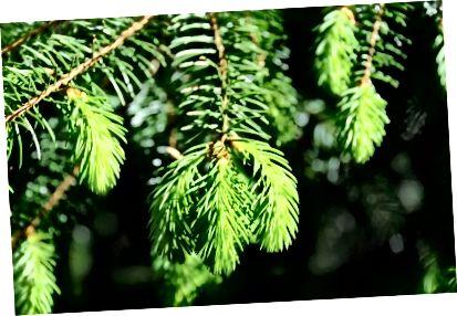 Čerstvá borovice je tak osvěžující a dokonalá, pokud potřebujete chladný vánek!