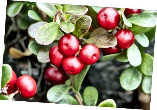 Wyciąg z mącznicy lekarskiej pochodzi z liści rośliny, a nie z owoców!